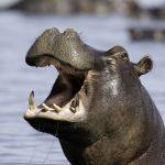 Virka en glad flodhäst